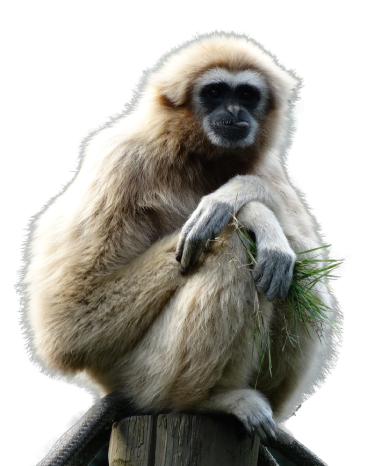 The Mini Zoo - Gibbon